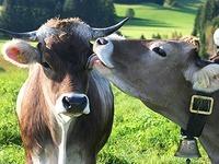Tr�chtige K�he beim Metzger: EU-Verbot soll her