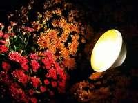 Fotos: Chrysanthema bei Nacht