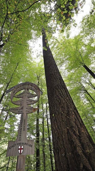 Der höchste Baum Deutschlands: Waldtraut vom Mühlwald  | Foto: Thomas Kunz