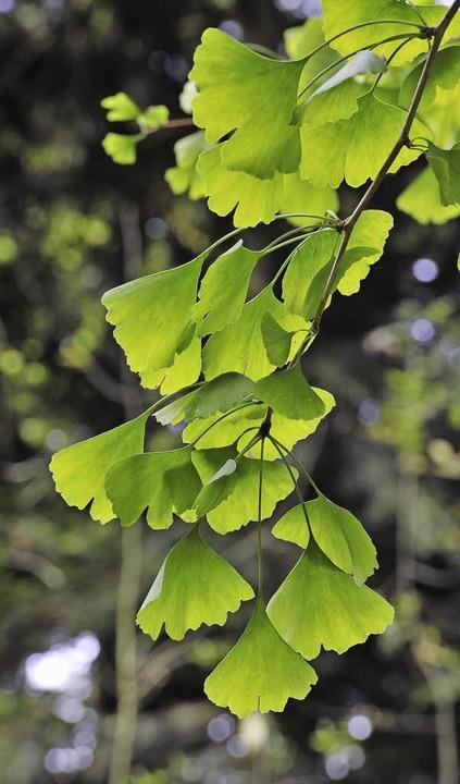 Der exotische Baum: Gingko  | Foto: Thomas Kunz