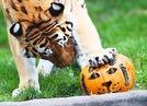 Tiger-Fr�hst�ck im Tierpark Hagenbeck