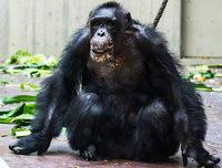 Ende eines Affenlebens: Der älteste Basler Schimpanse ist tot