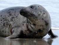 Kegelrobben attackieren Schweinswale