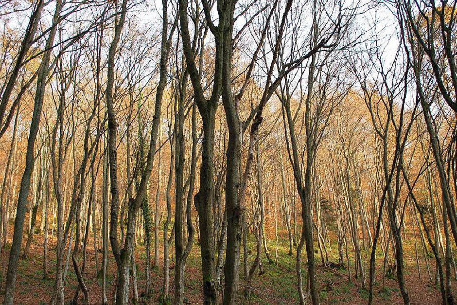 Im Wald über dem südelsässischen Städtchen Vieux-Thann hatten sich im Jahr 1944 mehrere Elsässer versteckt, weil sie nicht von den Deutschen als Wehrmachtssoldaten zwangsrekrutiert werden wollten. (Foto: Ralf Burgmaier)