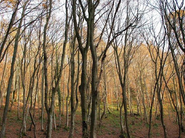 Im Wald über dem südelsässischen Städtchen Vieux-Thann hatten sich im Jahr 1944 mehrere Elsässer versteckt, weil sie nicht von den Deutschen als Wehrmachtssoldaten zwangsrekrutiert werden wollten.