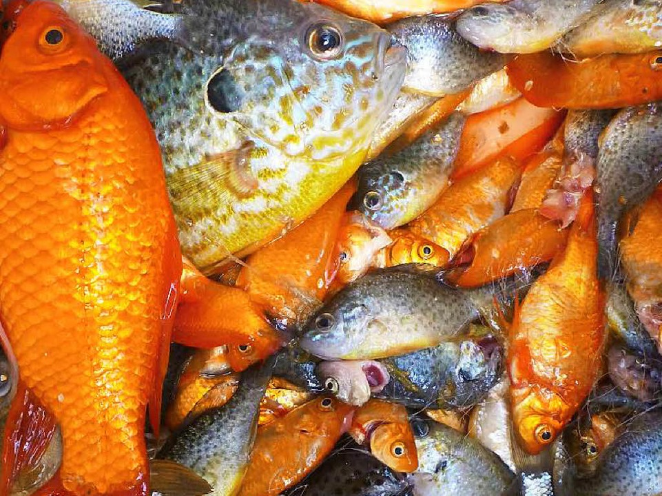 Fische im teich sollen weg ihnen droht der elektrokescher for Fische in teichen