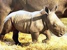 Nashorn-Rettung durch tierische Leihm�tter?