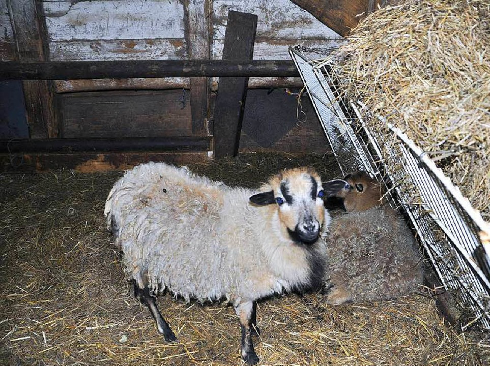 Fünf  Schafe sind an Unterernährung und Krankheit gestorben.  | Foto: Tierschutzverein Löffingen