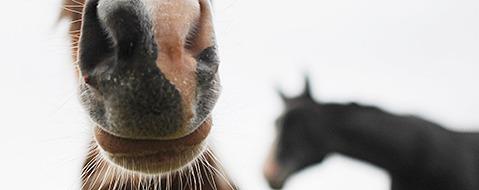 Herpes in Freiburger Stall: Zwei Pferde eingeschl�fert