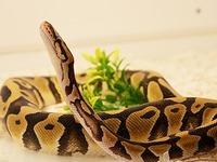 Reptilienb�rse in Offenburg: Vogelspinnen und Pythons to go
