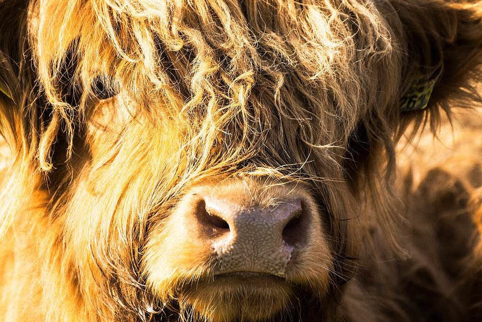Ein schottisches Hochlandrind bei Oberried (Foto: Charlotte Janz)