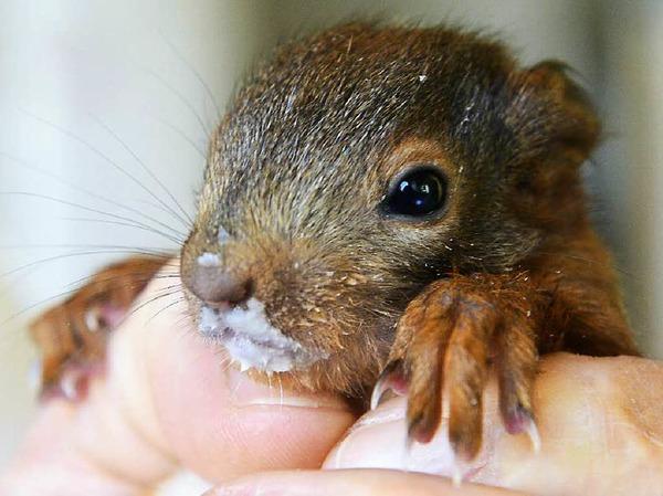 Geschwächte Eichhörnchenbabys werden wieder aufgepäppelt.