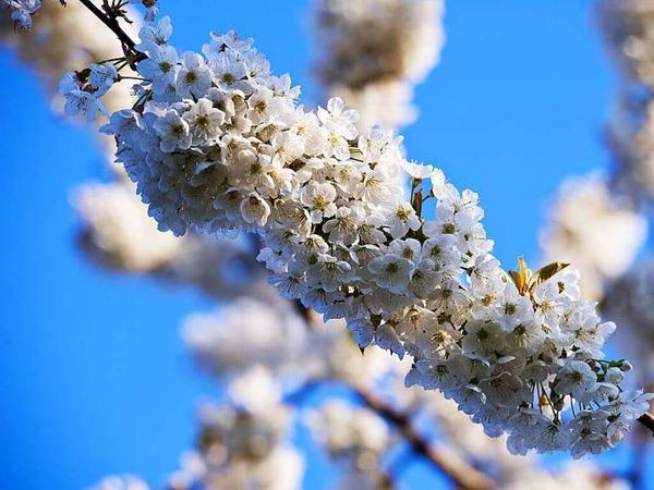 So schön ist die Kirschblüte im Eggenertal