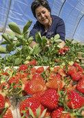 Die ersten Erdbeeren aus Buchholz