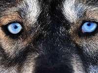 Wildtiere im Schwarzwald: Und wenn der Wolf kommt?