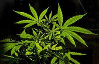 Menschen protestieren für Legalisierung von Marihuana
