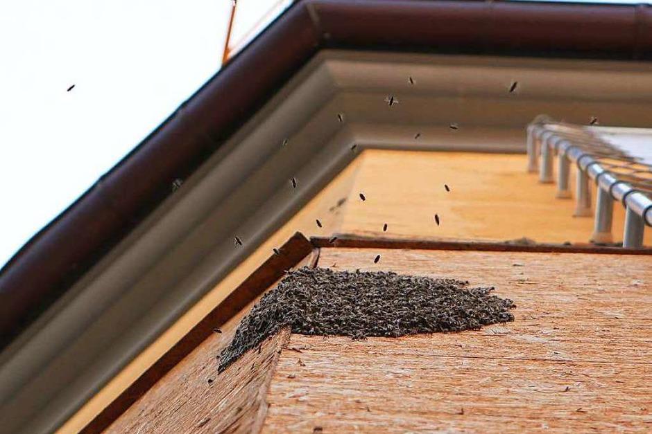 Rettung eines Bienenschwarms am Augustinermuseum. (Foto: Konstantin Goerlich)