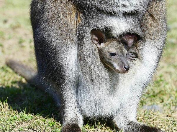 Känguru-Baby auf der Fancy-Farm in Freiburg.