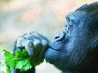 Die Heilkünste der Schimpansen