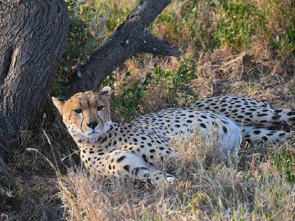 """Die Serengeti gehört zum Unesco-Weltnaturerbe. Die Massai waren es, die  die Savanne einst """"Serengetu"""", die endlose Ebene, nannten."""