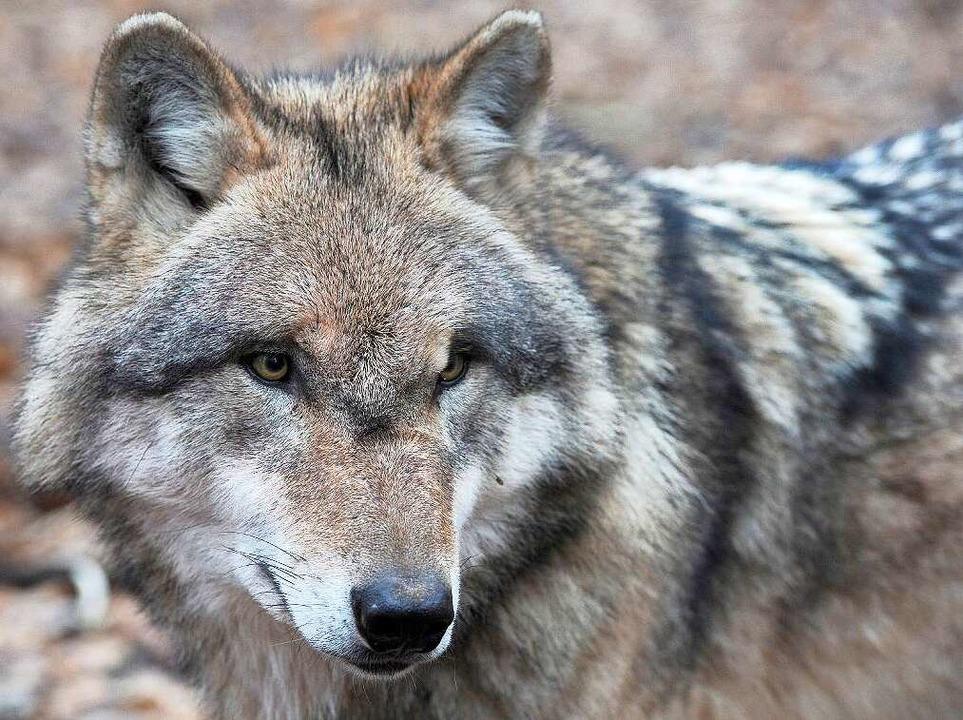...wirklich um einen Wolf?  | Foto: dpa