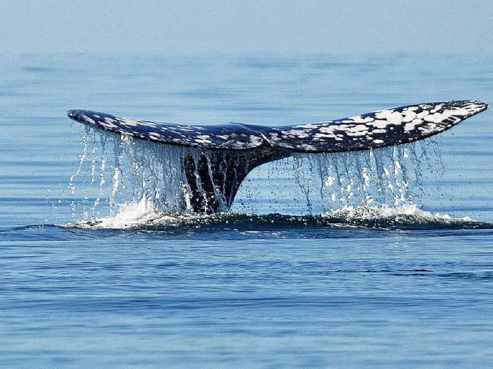 Finnwale werden in Island schon immer ...heute kaum jemand das Walfleisch isst.  | Foto: DPA