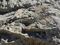 Spektakulärer Dinofund im Fricktal: Fast vollständiges Skelett entdeckt