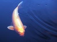 Koi-Herpesvirus: Befallener Baggersee wird leergefischt