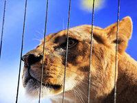 Neuer Wohnsitz Schwarzwald: Die Tiger kommen