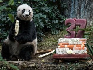 Rekord: Panda-B�rin Jia Jia feiert ihren 37. Geburtstag