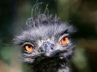 Verschwundener Emu ist tot - Nandu und Brut noch vermisst