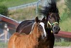 Fotos: Schwarzw�lder Pferde in Dillendorf