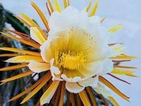 K�nigin der Nacht: Seltene Blume in der Ortenau