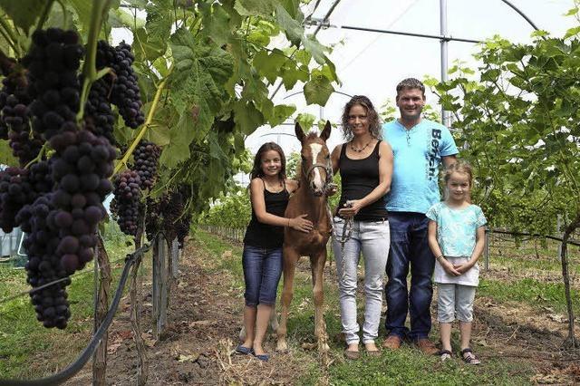 Tafeltrauben wachsen auch im Ried