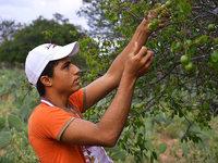 Umbu - eine Superfrucht dr�ngt auf den Weltmarkt