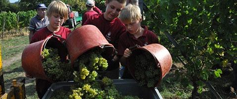 In der Ortenau hat die Weinlese begonnen