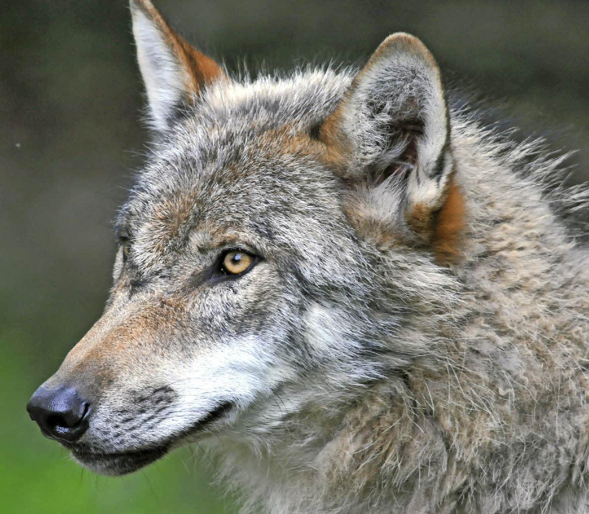 gengenbach wer den wolf will muss bezahlen badische. Black Bedroom Furniture Sets. Home Design Ideas