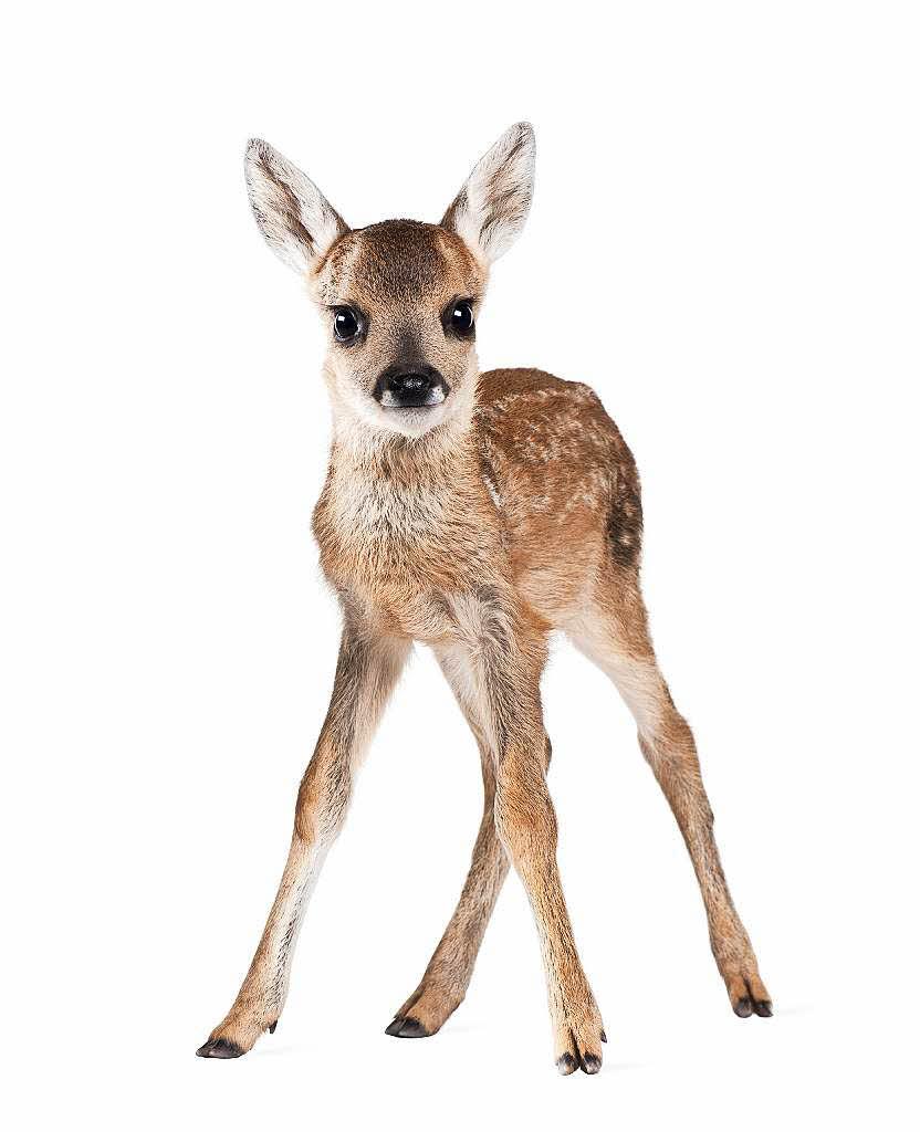 bambis rehkitze wild meinungen hilfe im m. Black Bedroom Furniture Sets. Home Design Ideas