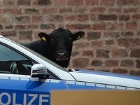 Offenburg: Bulle flieht aus Schlachthof ins alte Gef�ngnis
