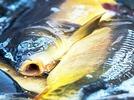 Fischsterben: 300 Tonnen Karpfen