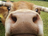 Crowdbutching: Kuh gemeinsam kaufen und schlachten