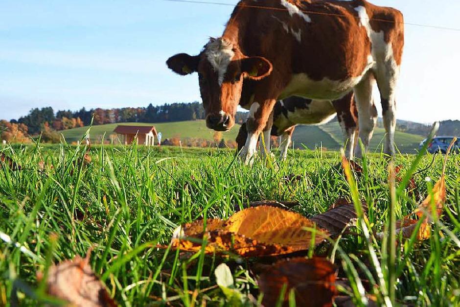Im Dreisamtal genießt eine Kuh die Herbstsonne. (Foto: Kathrin Blum)