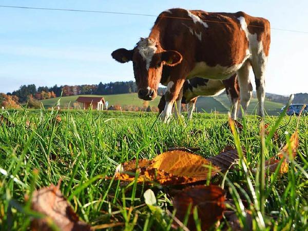 Im Dreisamtal genießt eine Kuh die Herbstsonne.