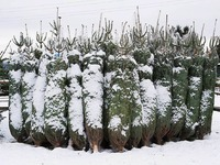 300.000 Weihnachtsb�ume kommen aus der Ortenau