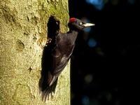 Anspruchsvoller Vogel: Wo der Schwarzspecht wohnt