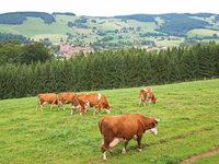 Bald keine Schwarzwaldmilch mehr im Schwarzwald?