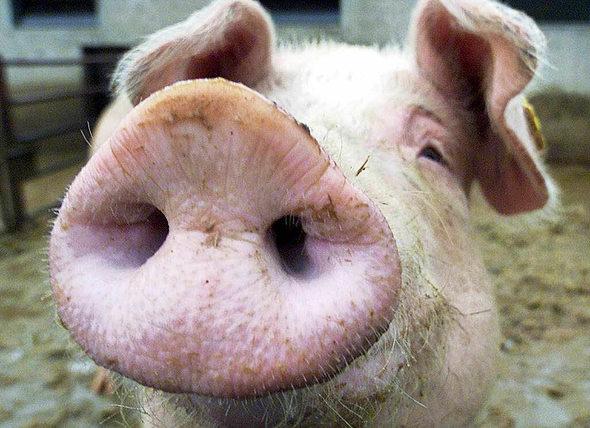 nutz oder haustier schweine sind dem menschen so nah. Black Bedroom Furniture Sets. Home Design Ideas