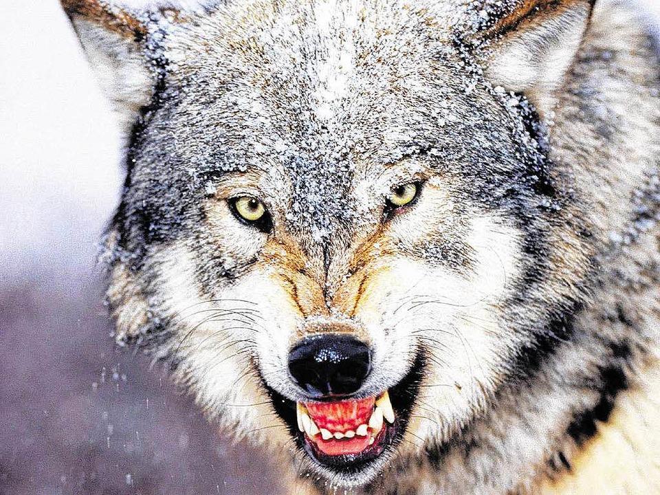 War es wirklich ein Wolf, der den Mann gebissen hat?  | Foto: bz