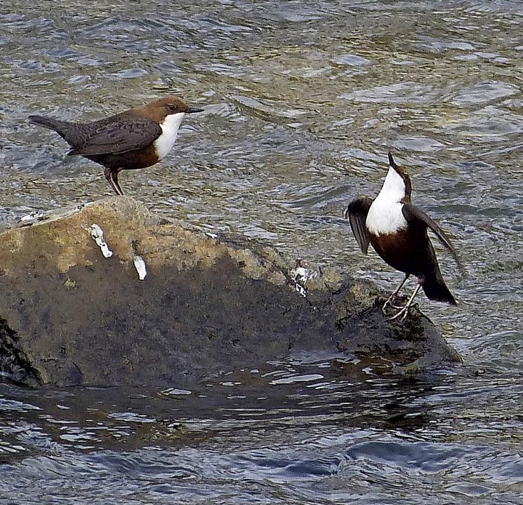 Wasseramseln sitzen gern auf Steinen im Fluss.   | Foto: Nusser-Schütz