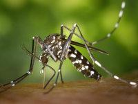 Einer der Zika-�bertr�ger kommt auch in Baden vor
